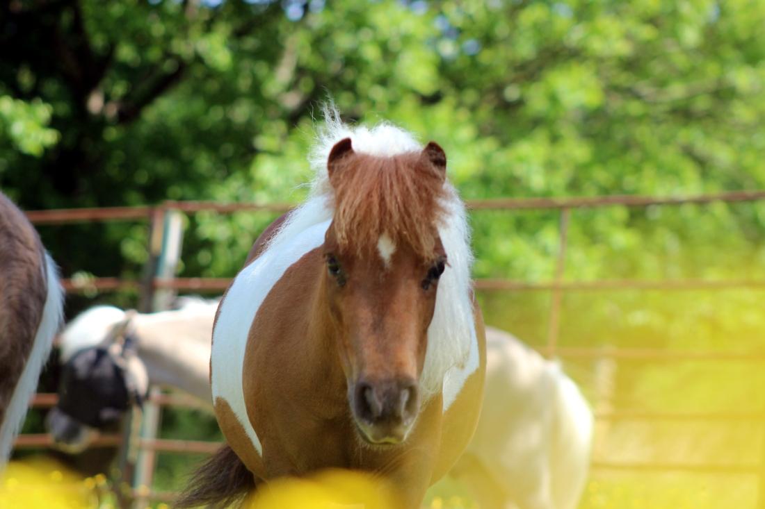 Lola, the mini horse