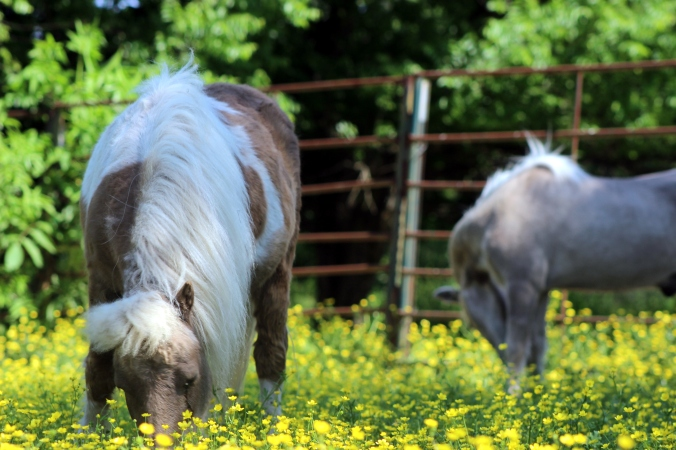 Mini horses grazing