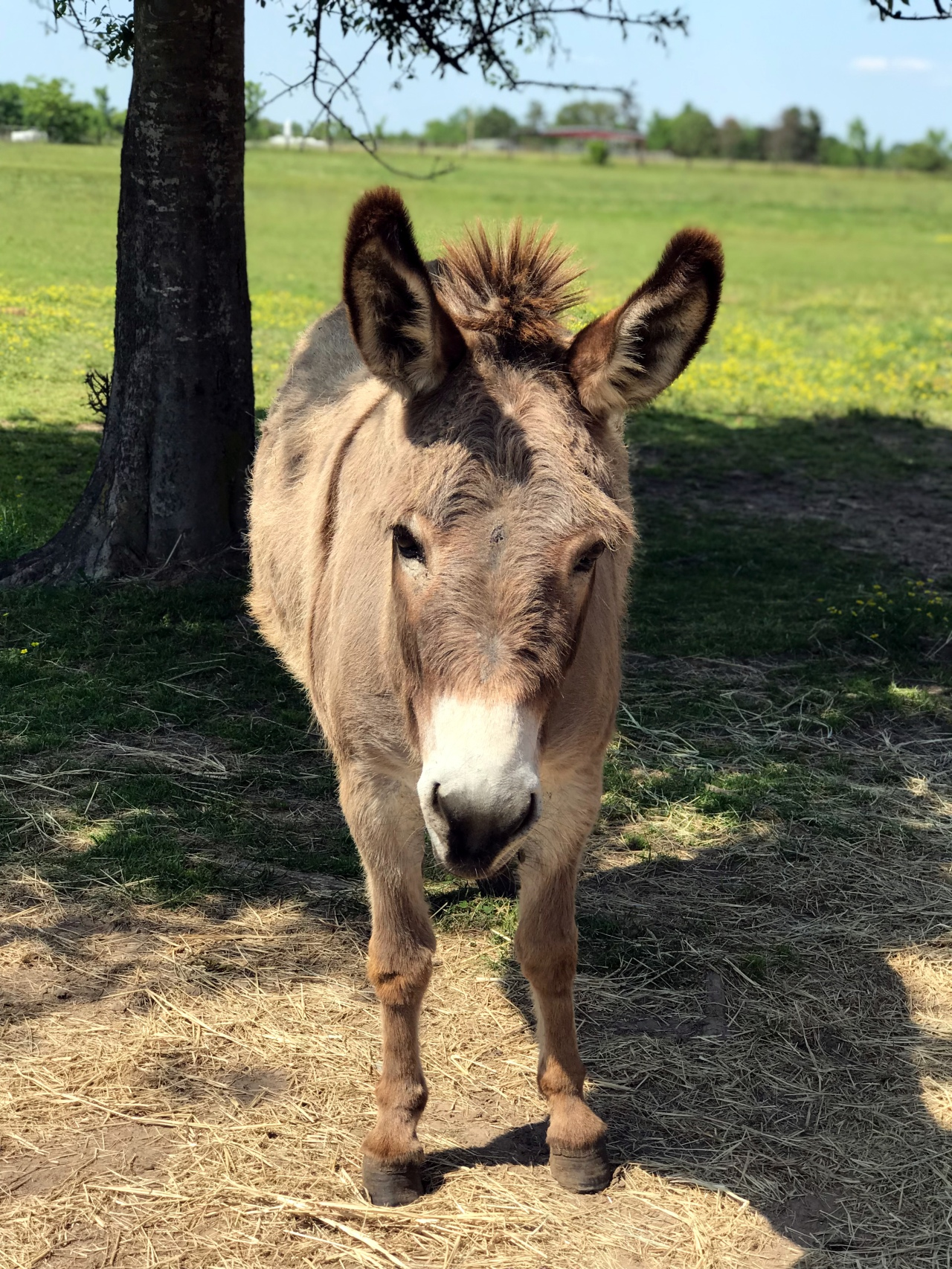 Mary the donkey stands under a tree